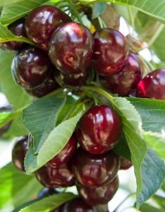 cherriesonline4